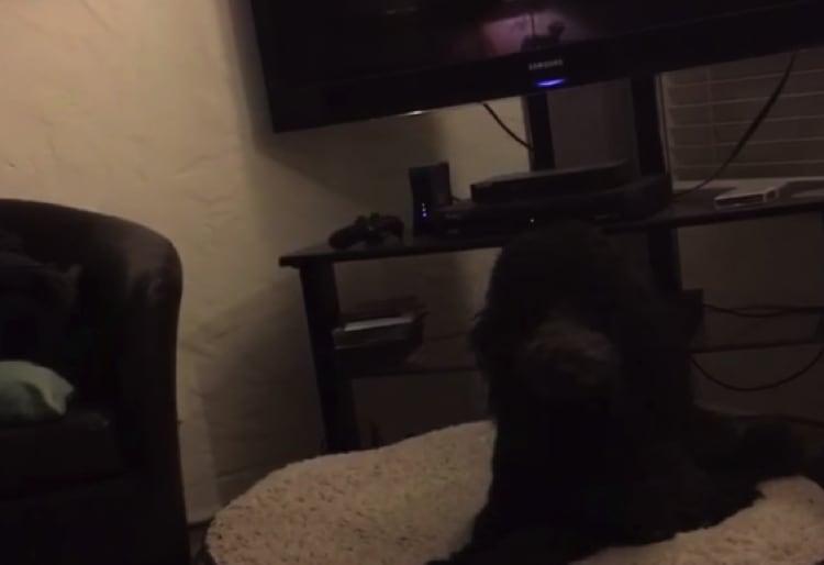 テレビが終わったら寝る時間!超おりこうな犬。